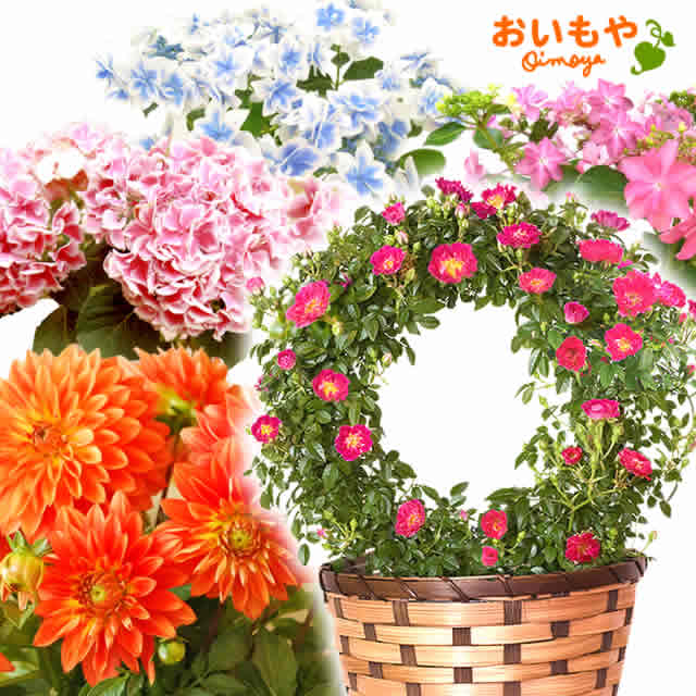珍しいアジサイやダリア等♪選べる鉢花set