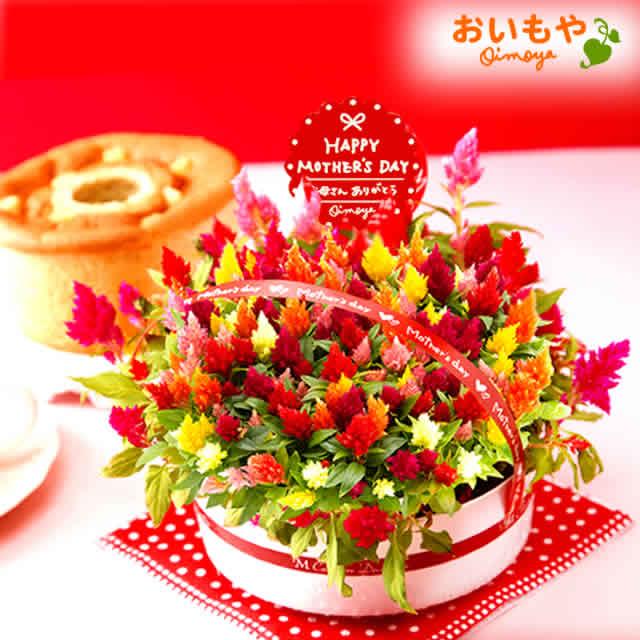 昨年6,400鉢完売!ケイトウ鉢花&シフォン